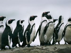 Saving the oil soaked Jackass Penguins in South Africa