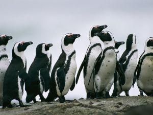 Saving Jackass Penguins in South Africa