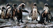 Oil spilled penguins in Africa