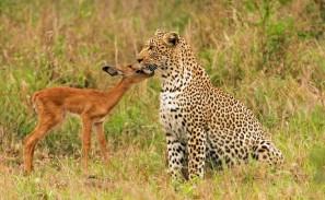 impala and leopard