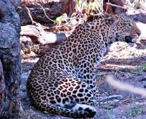 leopard-at-chobe