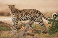 leopard in kalahari
