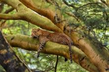leopard-nakuru