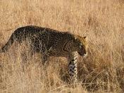 madikwe-leopard
