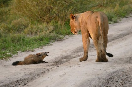 Lion in Botswana with fox
