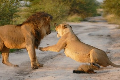 lions fight off