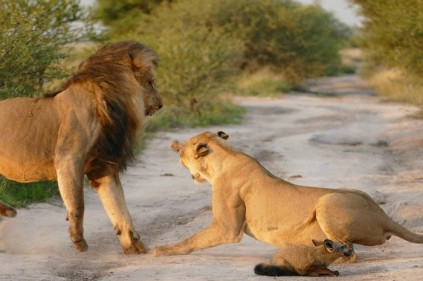 lions scaring off lions