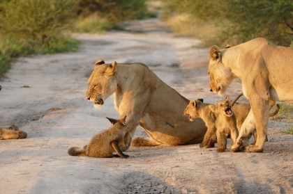 lions with cubs and fox2