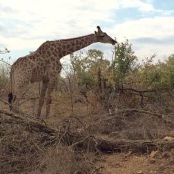 giraff eeating