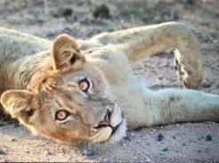 lion gazing